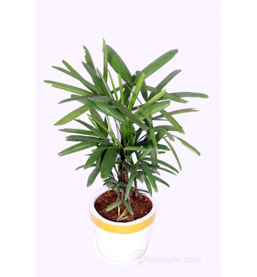 Rhapis Palm Indoor Plant Medium Size Bush Shape With Golden White Planter